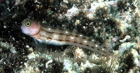 Ecsenius trilineatus, Three-lined blenny: aquarium