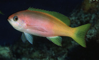 Pseudanthias pictilis, Painted anthias: aquarium