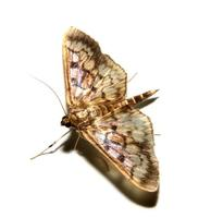 Image of: Pyralidae (grass moths and snout moths)