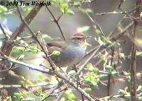 Grey-sided Bush Warbler - Cettia brunnifrons