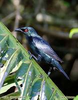 Asian Glossy Starling - Aplonis panayensis
