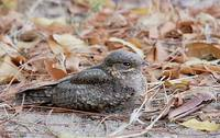 Madagascar Nightjar (Caprimulgus madagascariensis) photo