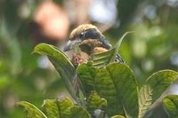 Brown-chested Barbet - Capito brunneipectus