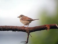 Greater Whitethroat - Sylvia communis