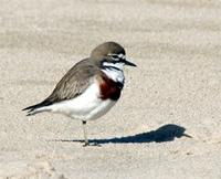 Double-banded Plover breeding male