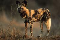 Wild Dog (Cape Hunting Dog), Lycaon pictus, Kruger National Park, South Africa (25910)