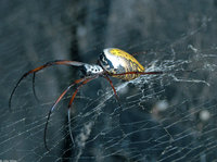 : Nephila madagascariensis; Golden Orb Spider