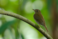 Brown-chested Jungle-flycatcher (Rhinomyias brunneata)