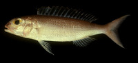 Nemipterus zysron, Slender threadfin bream: fisheries