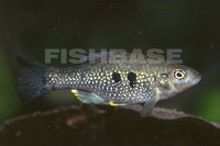Cualac tessellatus, Checkered pupfish: aquarium