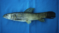 Hoplias microlepis, : fisheries