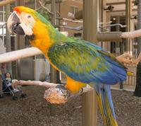 Image of: Ara (macaws)