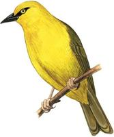Image of: Ploceus ocularis (spectacled weaver)