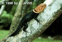 Image of: Tropidurus flaviceps (tropical thornytail iguana)