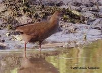 Brown Crake - Amaurornis akool