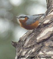 Chestnut-bellied Nuthatch - Sitta castanea