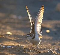 Kentish Plover (Charadrius alexandrinus) photo