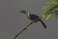 Channel-billed Toucan (Ramphastos vitellinus) photo