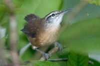 Long-billed Wren - Thryothorus longirostris