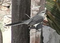 Tropical Mockingbird. Tulum, Quintana Roo, Mexico - Mar 8, 2002 ?? William Hull