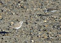 Snowy Plovers at Modesto STP 8/11/05 © 2005 Jim Gain