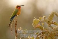 White fronted Bee eater stock photo