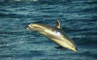Atlantic White-sided Dolphin Steve Mirick