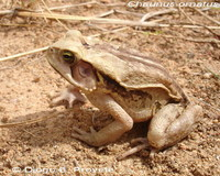 : Bufo ornatus; Ncn