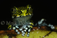 : Leptopelis vermiculatus; Vermiculated Tree Frog