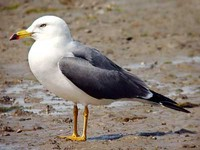 괭이갈매기 Larus crassirostris | black-tailed gull