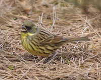 Black-faced Bunting Emberiza spodocephala personata - Male