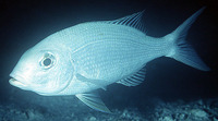 Gymnocranius grandoculis, Blue-lined large-eye bream: fisheries