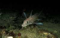 Chimaera monstrosa, Rabbit fish: fisheries