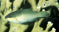 Scarus oviceps, Dark capped parrotfish: fisheries, aquarium