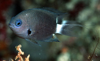 Chromis delta, Deep reef chromis: