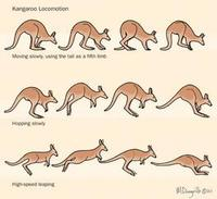 Image of: Macropodidae (kangaroos, wallabies, and relatives)