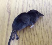Image of: Sorex palustris (water shrew)
