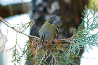 Image of: Regulus regulus (goldcrest)