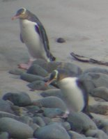 Yellow-eyed Penguin - Megadyptes antipodes
