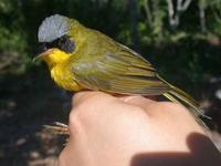 masked yellowthroat male