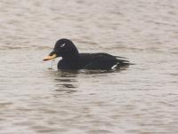 Velvet Scoter at           Kirton Marsh - January 1995 © N Smith