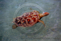 : Chelonia mydas; Green Sea Turtle