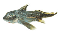 Hydrolagus novaezealandiae, Dark ghost shark: fisheries