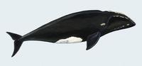 Image of: Eubalaena australis (southern right whale)