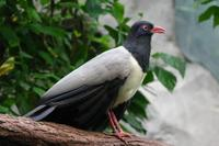 Carpococcyx renauldi - Coral-billed Ground-Cuckoo