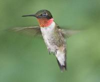 Image of: Archilochus colubris (ruby-throated hummingbird)