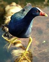 Image of: Porphyrio martinica (purple gallinule)