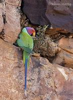 Image of: Psittacula cyanocephala (plum-headed parakeet)