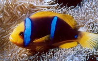 Amphiprion chrysopterus - Orangefin Anemonefish