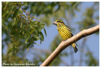 Spot-winged Grosbeak - Mycerobas melanozanthos